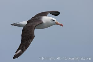 "Black-browed albatross in flight.  The black-browed albatross is a medium-sized seabird at 31�37"" long with a 79�94"" wingspan and an average weight of 6.4�10 lb. They have a natural lifespan exceeding 70 years. They breed on remote oceanic islands and are circumpolar, ranging throughout the Southern Oceanic. Falkland Islands, United Kingdom, Thalassarche melanophrys, natural history stock photograph, photo id 23717"