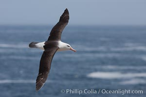 Black-browed albatross, in flight over the ocean.  The wingspan of the black-browed albatross can reach 10', it can weigh up to 10 lbs and live for as many as 70 years. Steeple Jason Island, Falkland Islands, United Kingdom, Thalassarche melanophrys, natural history stock photograph, photo id 24217