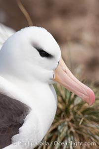 "Black-browed albatross, Steeple Jason Island.  The black-browed albatross is a medium-sized seabird at 31-37"" long with a 79-94"" wingspan and an average weight of 6.4-10 lb. They have a natural lifespan exceeding 70 years. They breed on remote oceanic islands and are circumpolar, ranging throughout the Southern Oceanic, Thalassarche melanophrys"