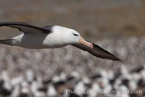Black-browed albatross in flight, over the enormous colony at Steeple Jason Island in the Falklands. Steeple Jason Island, Falkland Islands, United Kingdom, Thalassarche melanophrys, natural history stock photograph, photo id 24244