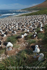 Black-browed albatross colony on Steeple Jason Island in the Falklands.  This is the largest breeding colony of black-browed albatrosses in the world, numbering in the hundreds of thousands of breeding pairs.  The albatrosses lay eggs in September and October, and tend a single chick that will fledge in about 120 days. Steeple Jason Island, Falkland Islands, United Kingdom, Thalassarche melanophrys, natural history stock photograph, photo id 24267