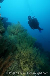 Image 03476, Black coral and diver. Isla Champion, Galapagos Islands, Ecuador, Antipathidae sp.