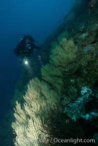 Black coral and diver, Antipathidae, Isla Champion
