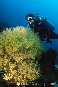 Black coral and diver, Isla Champion