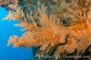 Black coral Antipatharia, Los Islotes, Sea of Cortez