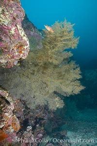 Black coral.  The fan is five feet in diameter and the color of the live coral is more yellow-green than black, Antipathidae, North Seymour Island