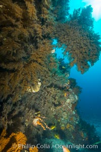 Black coral on Healthy Coral Reef, Antipatharia, Sea of Cortez. Baja California, Mexico, Antipatharia, natural history stock photograph, photo id 33695