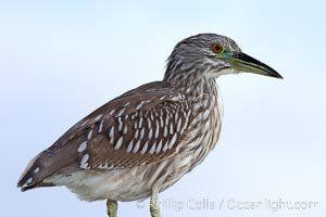 Black-crowned night heron, juvenile, Nycticorax nycticorax, San Diego, California
