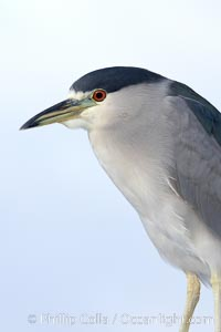 Black-crowned night heron, adult, Nycticorax nycticorax, San Diego, California