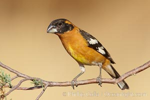 Black-headed grosbeak, male. Madera Canyon Recreation Area, Green Valley, Arizona, USA, Pheucticus melanocephalus, natural history stock photograph, photo id 22911