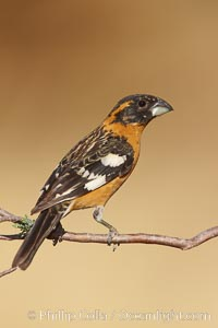 Black-headed grosbeak, male. Madera Canyon Recreation Area, Green Valley, Arizona, USA, Pheucticus melanocephalus, natural history stock photograph, photo id 22960