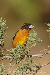 Black-headed grosbeak, male. Madera Canyon Recreation Area, Green Valley, Arizona, USA, Pheucticus melanocephalus, natural history stock photograph, photo id 22962