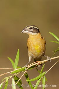Black-headed grosbeak, female. Madera Canyon Recreation Area, Green Valley, Arizona, USA, Pheucticus melanocephalus, natural history stock photograph, photo id 23050