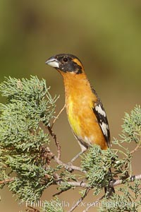 Black-headed grosbeak, male. Madera Canyon Recreation Area, Green Valley, Arizona, USA, Pheucticus melanocephalus, natural history stock photograph, photo id 23082
