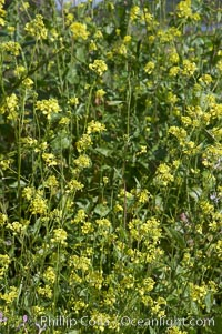 Image 11297, Black mustard, Batiquitos Lagoon, Carlsbad. Batiquitos Lagoon, Carlsbad, California, USA, Brassica nigra, Phillip Colla, all rights reserved worldwide. Keywords: batiquitos lagoon, batiquitos lagoon ecological reserve, black mustard, brassica nigra, california, carlsbad, coastal wildflower, ecological reserves, plant, usa, wildflower.