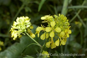 Black mustard, Batiquitos Lagoon, Carlsbad. California, USA, Brassica nigra, natural history stock photograph, photo id 11303