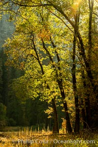 Black oaks in autumn in Yosemite National Park, fall colors, Quercus kelloggii, Quercus kelloggii