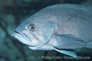 Black rockfish., Sebastes melanops, natural history stock photograph, photo id 19003