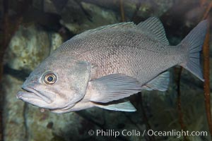 Black rockfish., Sebastes melanops, natural history stock photograph, photo id 19004