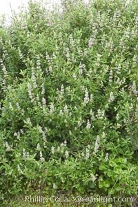 Black sage. San Elijo Lagoon, Encinitas, California, USA, Salvia mellifera, natural history stock photograph, photo id 11312