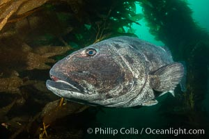 Giant black sea bass, endangered species, reaching up to 8' in length and 500 lbs, amid giant kelp forest. Catalina Island, California, USA., Stereolepis gigas, natural history stock photograph, photo id 34616