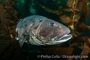 Giant black sea bass, endangered species, reaching up to 8' in length and 500 lbs, amid giant kelp forest. Catalina Island, California, USA, Stereolepis gigas