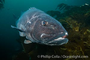 Giant black sea bass, endangered species, reaching up to 8' in length and 500 lbs, amid giant kelp forest. Catalina Island, California, USA. Catalina Island, California, USA, Stereolepis gigas, natural history stock photograph, photo id 34621