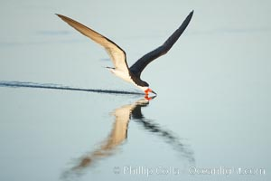 Black skimmer forages by flying over shallow water with its lower mandible dipping below the surface for small fish. San Diego Bay National Wildlife Refuge, San Diego, California, USA, Rynchops niger, natural history stock photograph, photo id 17418