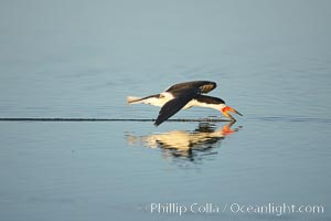 Black skimmer forages by flying over shallow water with its lower mandible dipping below the surface for small fish, Rynchops niger, San Diego Bay National Wildlife Refuge