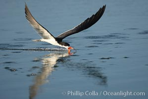 Black skimmer forages by flying over shallow water with its lower mandible dipping below the surface for small fish. San Diego Bay National Wildlife Refuge, San Diego, California, USA, Rynchops niger, natural history stock photograph, photo id 17428