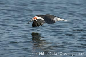 Black skimmer forages by flying over shallow water with its lower mandible dipping below the surface for small fish. San Diego Bay National Wildlife Refuge, California, USA, Rynchops niger, natural history stock photograph, photo id 17431
