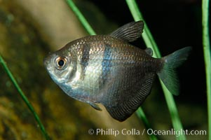 Black tetra, a freshwater fish native to the Paraguay and Guapore river basins in South America, Gymnocorymbus ternetzi