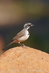 Black-throated sparrow, Amphispiza bilineata, Amado, Arizona