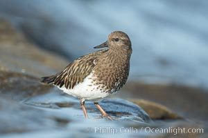 Black Turnstone, La Jolla. La Jolla, California, USA, Arenaria melanocephala, natural history stock photograph, photo id 30392
