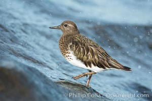 Black Turnstone, La Jolla. La Jolla, California, USA, Arenaria melanocephala, natural history stock photograph, photo id 30395