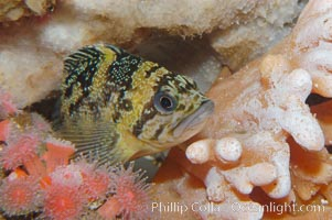 Black-and-yellow rockfish, Sebastes chrysomelas
