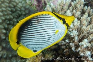 Blackback butterflyfish, Chaetodon melannotus, Fiji