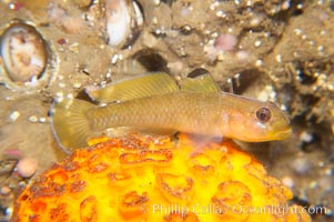 Blackeye Goby perched on orange puffball sponge, Rhinogobiops nicholsii, Tethya aurantia