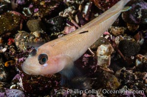 Blackeye goby. Santa Barbara Island, California, USA, Rhinogobiops nicholsii, natural history stock photograph, photo id 10186