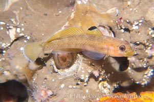 Blackeye Goby., Rhinogobiops nicholsii, natural history stock photograph, photo id 14014