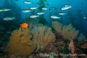 Blacksmith Chromis, Garibaldi and California golden gorgonian on underwater rocky reef, San Clemente Island. The golden gorgonian is a filter-feeding temperate colonial species that lives on the rocky bottom at depths between 50 to 200 feet deep. Each individual polyp is a distinct animal, together they secrete calcium that forms the structure of the colony. Gorgonians are oriented at right angles to prevailing water currents to capture plankton drifting by, Hypsypops rubicundus, Muricea californica