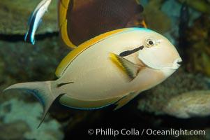 Blackstripe surgeonfish., Acanthurus nigricaudas, natural history stock photograph, photo id 12966