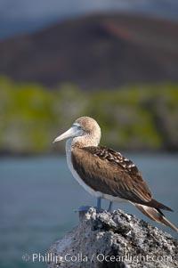 Blue-footed booby, Punta Albemarle. Isabella Island, Galapagos Islands, Ecuador, Sula nebouxii, natural history stock photograph, photo id 16661