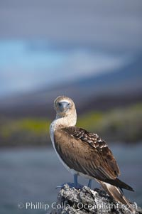 Blue-footed booby, Punta Albemarle. Isabella Island, Galapagos Islands, Ecuador, Sula nebouxii, natural history stock photograph, photo id 16676