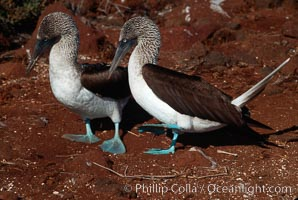Image 01792, Blue-footed booby, courtship display. North Seymour Island, Galapagos Islands, Ecuador, Sula nebouxii, Phillip Colla, all rights reserved worldwide. Keywords: above water, animal, animalia, aves, bird, blue footed booby, blue-footed boobie, blue-footed booby, boobie, booby, chordata, ecuador, galapagos, galapagos islands, mating and courtship, nebouxii, north seymour island, oceans, pacific, pelecaniformes, seabird, seabird behavior, sula, sula nebouxi, sula nebouxii, sulidae, vertebrata, vertebrate, world heritage sites.