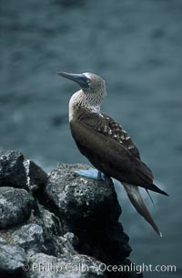 Blue-footed booby,  South Plaza Island, Sula nebouxii