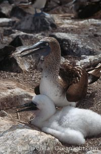 Blue-footed booby with chick, Punta Suarez, Sula nebouxii, Hood Island