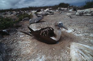 Blue-footed booby on nest, Punta Suarez, Sula nebouxii, Hood Island