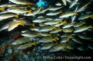 Blue and gold snapper, Lutjanus viridis, Cocos Island