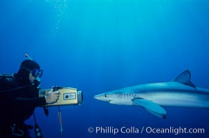 Image 00276, Blue shark and videographer. San Diego, California, USA, Prionace glauca, Phillip Colla, all rights reserved worldwide. Keywords: animal, animalia, blue shark, california, carcharhinidae, carcharhiniformes, chondrichthyes, chordata, creature, danger, elasmobranch, elasmobranchii, fear, glauca, great blue shark, jaws, man and animal, marine, nature, ocean, oceans, open ocean, outdoors, outside, pacific, pacific ocean, pelagic, people, predator, prionace, prionace glauca, requin bleu, risk, san diego, scuba diver, sea, shark, shark diving, sharks, submarine, underwater, underwater videographer, usa, vertebrata, wildlife.